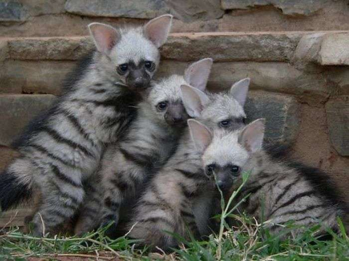 Земляні вовки - одні із самих милих хижаків на планеті (11 фото)