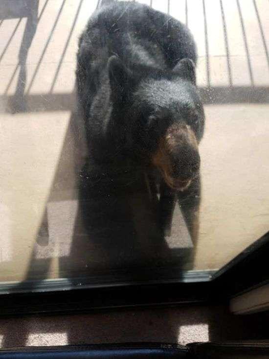 Чорний ведмідь прийшов в будинок жителів Канади (3 фото)