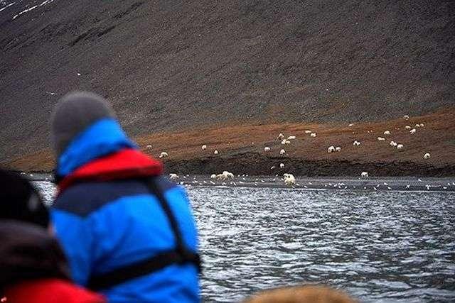 Величезне скупчення білих ведмедів в заповіднику «Острів Врангеля» (6 фото)