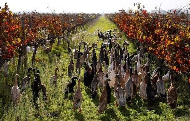 На фермі в ПАР для боротьби з шкідниками стали використовувати качок (4 фото)