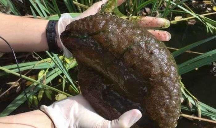 У Канаді знайдені дивні істоти, що нагадують мозок людини (4 фото)
