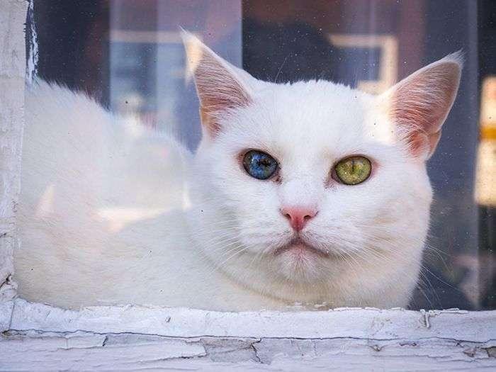 Чарівний погляд кішок, які страждають гетерохромией (9 фото)