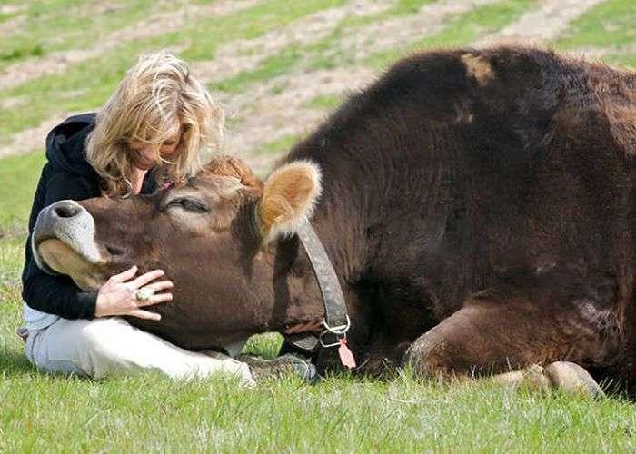 Корови, які схожі на собак (35 фото)