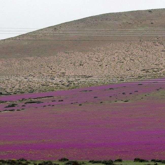 У Чилі з-за проливних дощів розквітла пустеля Атакама (4 фото)
