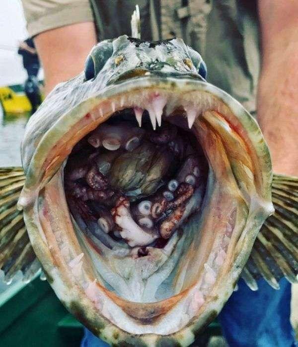 Рибалка зловив зубастого терпуга з бонусом всередині (2 фото)