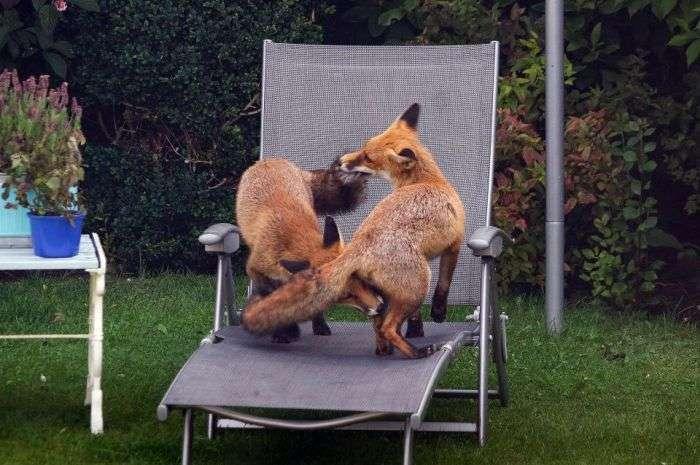 Грайливі лисиці на задньому дворі (3 фото)