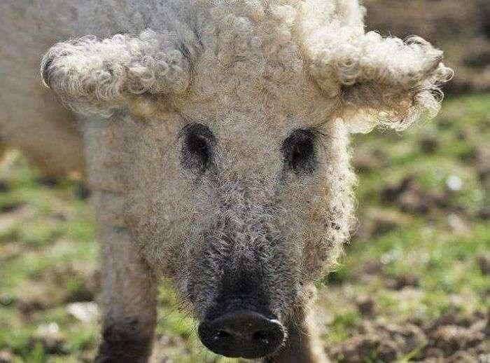 Незвичайні свині породи мангалиця (7 фото)