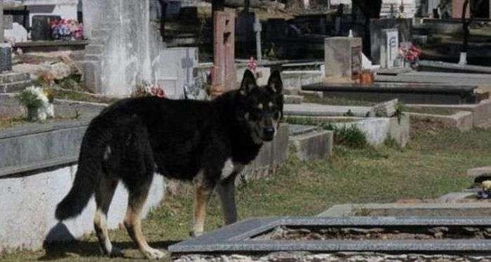 Собака 11 років живе на могилі господаря (4 фото)
