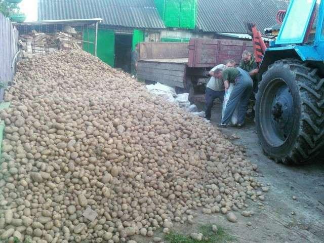 Білоруси копають картоплю (27 фото)