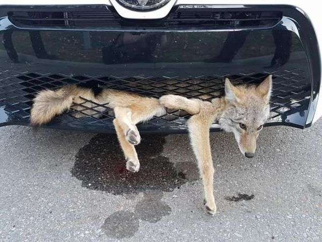 Койот-щасливчик потрапив під машину, але навіть не збирався помирати (2 фото)