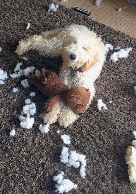 Безневинна морда регулярно рятує собаку від заслуженого покарання (5 фото)