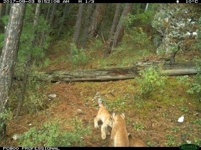 Рись з дитинчатами потрапила в обєктив лісовий камери (13 фото)