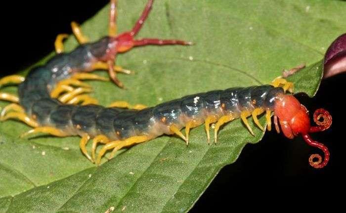 Сколопендри - дивовижні істоти, що живуть у нас під боком (9 фото)