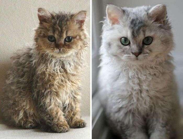 Милі кошенята породи селкірк-рекс (5 фото)