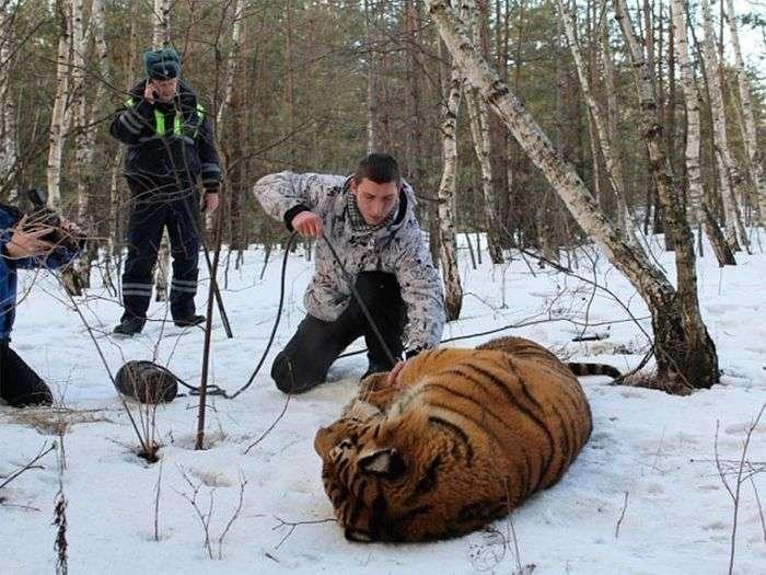 У Воронежі зловили втікача тигра (3 фото + відео)