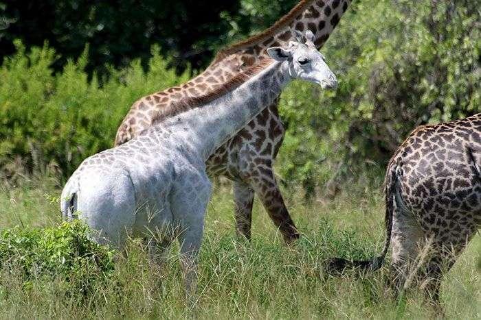 Омо - незвичайний жираф з рідкісною мутацією (4 фото)