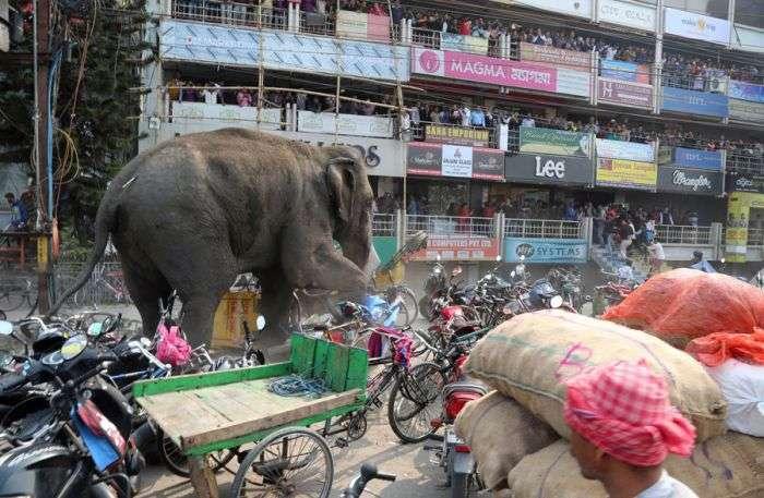 Дикий слон влаштував погром в індійському місті Сілігурі (6 фото)