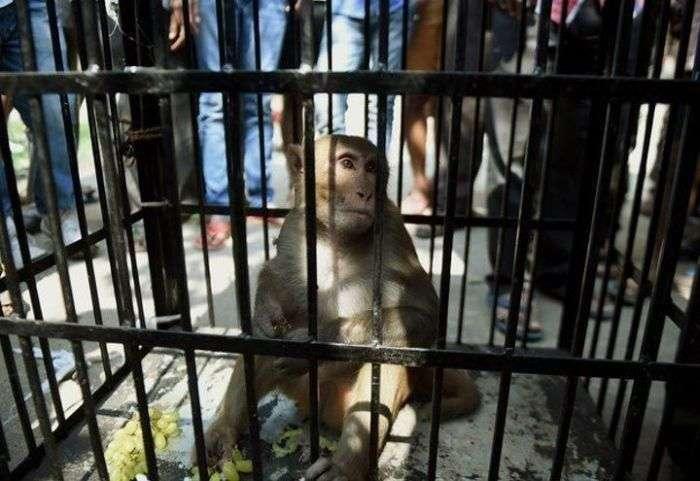 Покарання мавпи в Індії (7 фото)