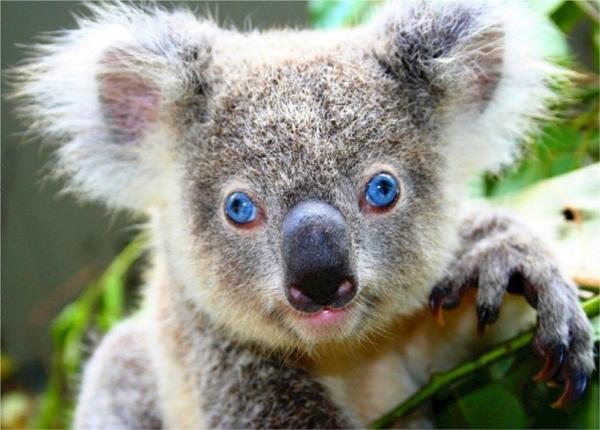 Коала: Обкуренный и похотливый мишка животные,интересные факты,коала,природа