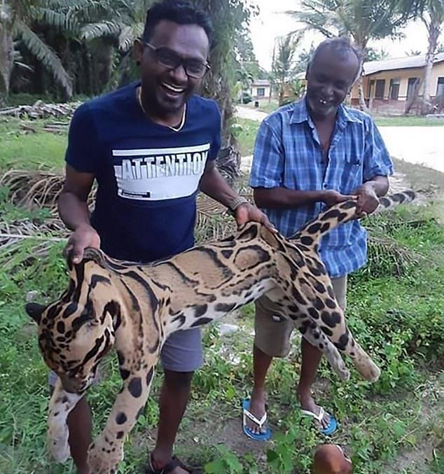 Браконьеры похвастались в Facebook убийством редчайшего дымчатого леопарда Всячина