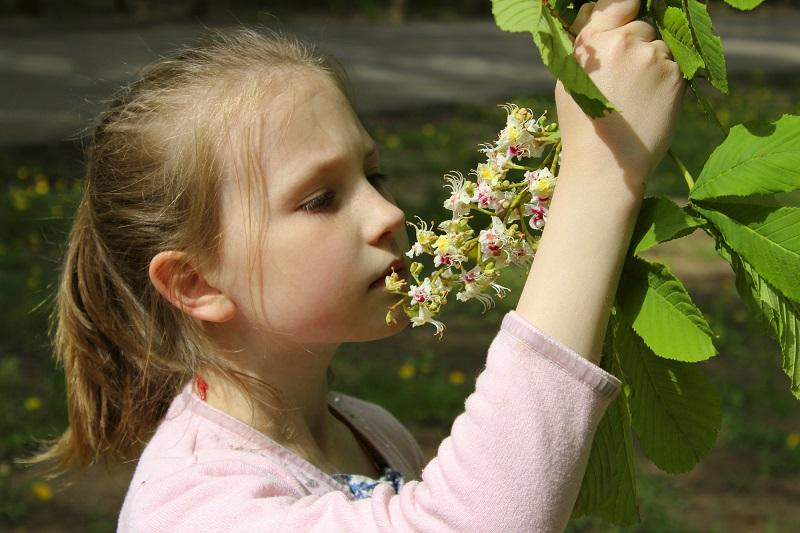 Полезные свойства цветков каштана Здоровье