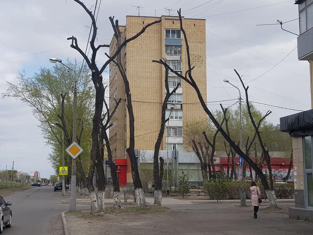 Обрубки вместо деревьев – почему так происходит? данные, озеленение, красноярск, городские проблемы