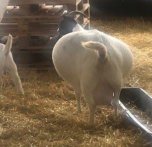 Сколько сена может влезть в обыкновенную козу МиР