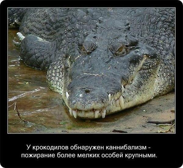Факты о крокодилах и их среде обитания Интересное