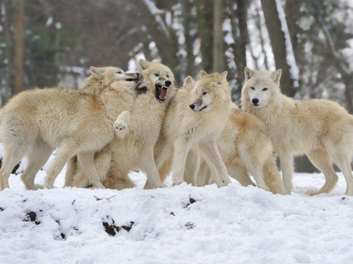 Можно ли приручить дикого волка? не всё так грустно