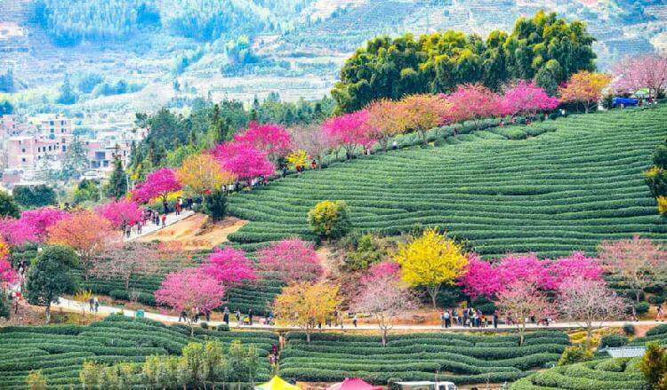 В Китае зацвела вишня, превратив страну в один прекрасный цветущий сад страны