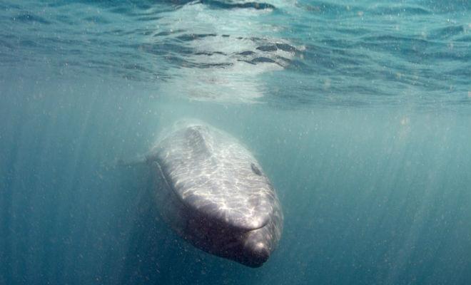 Самый большой кит в мире выплыл навстречу дайверу Культура
